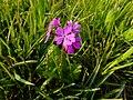 Tajimagahara Wild Primrose 07.jpg