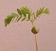 A Tamarind seedling