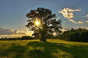 Tamme-Lauri tamm suvepäeval.jpg
