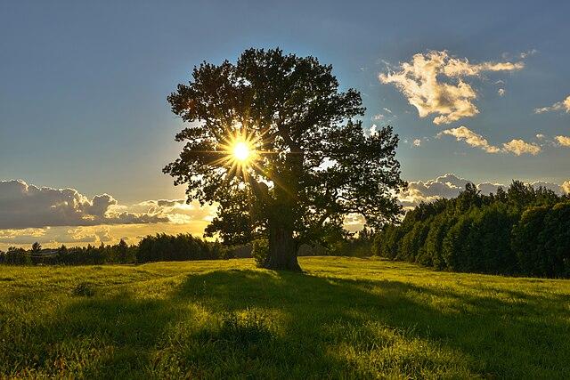 Дуб Тамме-Лаурі. Найстаріше дерево в Естонії.