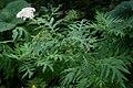 Tanacetum macrophyllum 2.jpg