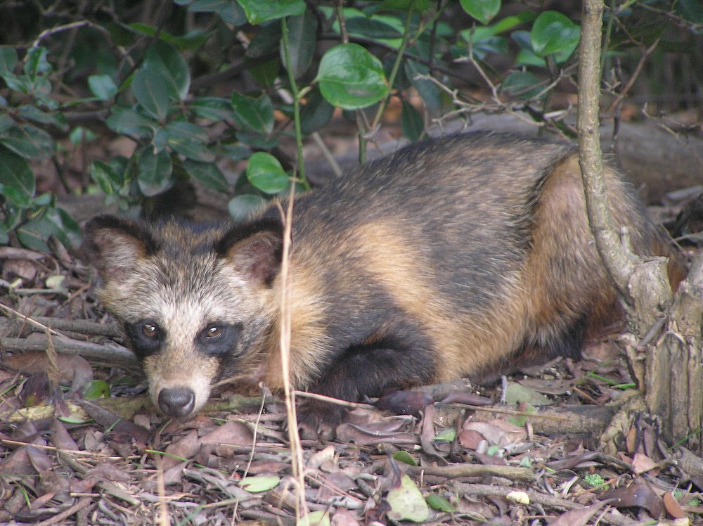 The average litter size of a Raccoon dog is 6