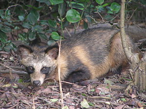 Raccoon dog - N. procyonoides in Shiraishijima, Japan.