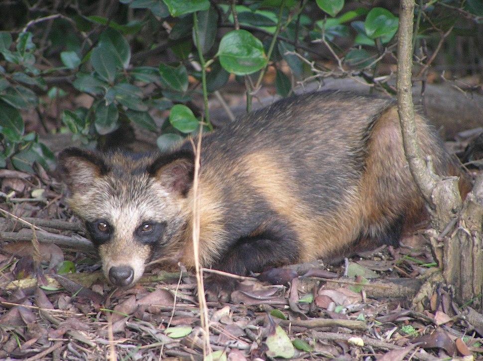 Tanuki the `Raccoon Dog`