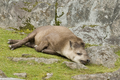 Tapirus terrestris, sleeping.png
