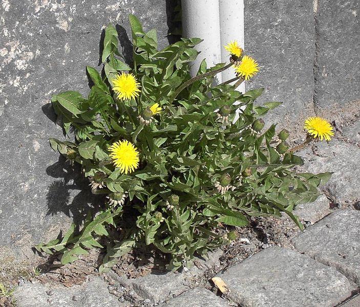 Fil:Taraxacum sect. Ruderalia april 2005.jpg