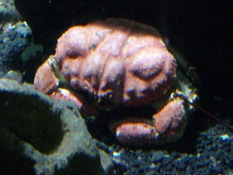 800px-Tasmanian_Giant_Crab.jpg