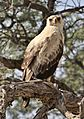 Tawny Eagle, Aquila rapax, pale form at Kgalagadi Transfrontier Park, Northern Cape, South Africa (33766110583).jpg