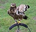 Tawny Eagle (8546042824).jpg