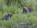 Tayside Beaver mother and kit June 5, 2010 Ray Scott.jpg
