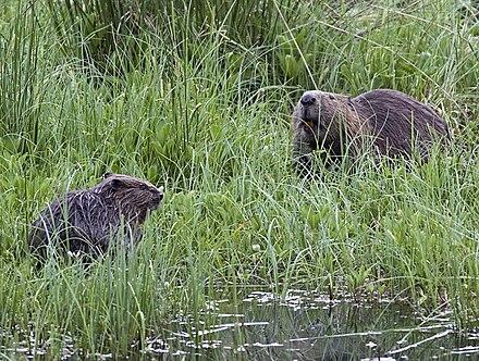 herr beaver asian