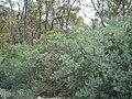 Teline linifolia 5.jpg
