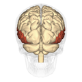 Temporal lobe - posterior view.png
