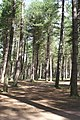 Tentsmuir Forest - geograph.org.uk - 1424570.jpg
