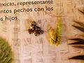 Teosinte ear and grains - EITC's Fiesta de Maguey & Maize - Jardin Etnobotanico, Oaxaca de Juárez - Mexico - Nov. 2012.jpg