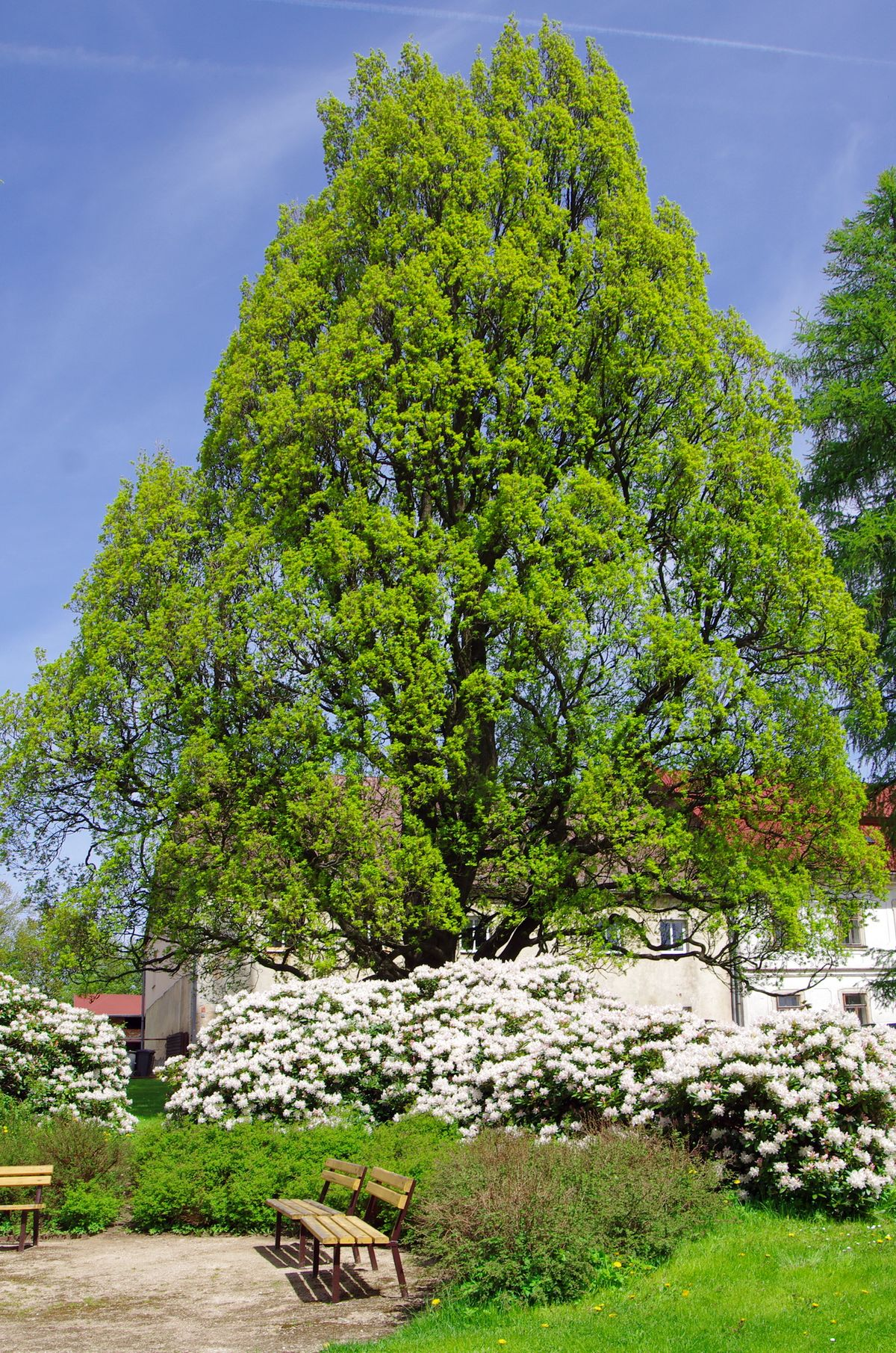 Tepelský dub – Wikipedie