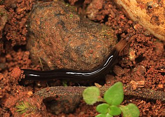 Soft-bodied organism - A terrestrial ribbon worm