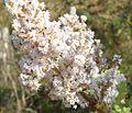 Tetradenia riparia, manlike bloeiwyse, Louwsburg.jpg