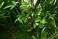 Tetrataxis salicifolia, Conservatoire botanique national de Brest 01.jpg