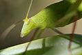Tettigoniidae (14506956116).jpg