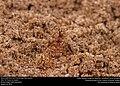 Texas Leafcutter Ant (Formicidae, Atta texana) (28987351890).jpg