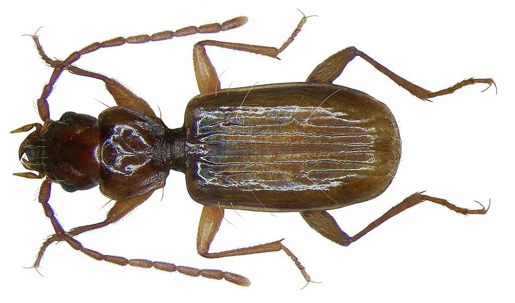 File thalassophilus longicornis sturm 1825 2912082479 for 1825 2