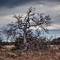 The Old Tree - Overcast (Explored) - Flickr - Anne Worner.jpg