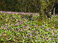 The dogtooth violet - panoramio.jpg