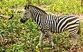 The plains Zebra.jpg