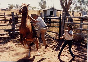 Muster (livestock) - Horses in the outback are not noted for their docility and this adds to the dangers of mustering.