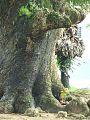 Thousand year old tree.......jpg