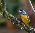 Thraupis bonariensis -Piraju, Brasil-8.jpg