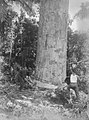 Three woodcutters chopping at base of Kauri tree (AM 87018-1).jpg