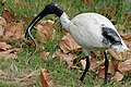 Threskiornis molucca -Sydney, New South Wales, Australia-8.jpg