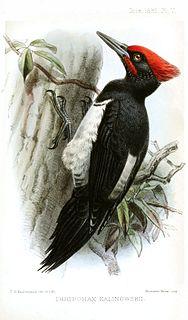 Tristrams woodpecker subspecies of bird