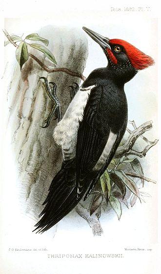 White-bellied woodpecker - D. j. richardsi