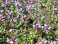 Thymus serpyllum 2018-07-06 3569.jpg