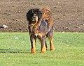 Tibetan Mastiff Тибетский Мастиф 02.jpg
