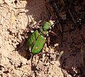 Tiger beetle. Cicindela campestris - Flickr - gailhampshire.jpg