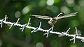 Tiger dragonfly (15852978378).jpg