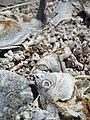 Tilapia bones Salton Sea.jpg