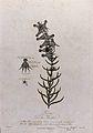 Toadflax (Linaria sp. var.); flowering stem with separate la Wellcome V0042988.jpg