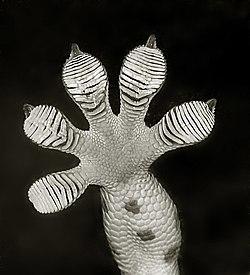 gros plan sur les pattes d'un gecko. Les minuscules lamelles sous les pattes lui permettent de s'accrocher et de grimper un peu partout.