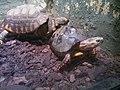 Tortoises (7822199854).jpg