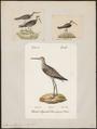 Totanus stagnalis - 1700-1880 - Print - Iconographia Zoologica - Special Collections University of Amsterdam - UBA01 IZ17400093.tif