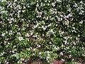 Trachelospermum jasminoides HRM1.jpg