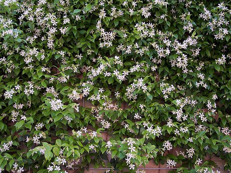 File trachelospermum jasminoides wikimedia commons - Jasmin etoile en pot ...