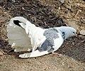Tree Farm, Fan Tail Pigeon 12-8-12 (8297237313).jpg