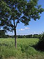Tree and Field - geograph.org.uk - 193011.jpg