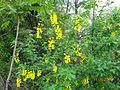 Tree of yellow flower from kasmir.jpg